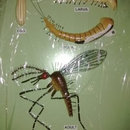 Life Cycle of Sand Fly